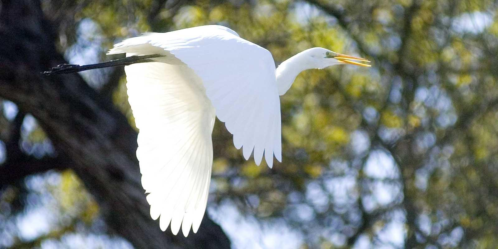 A cattle egret makes a springtime visit at the Lyle Center