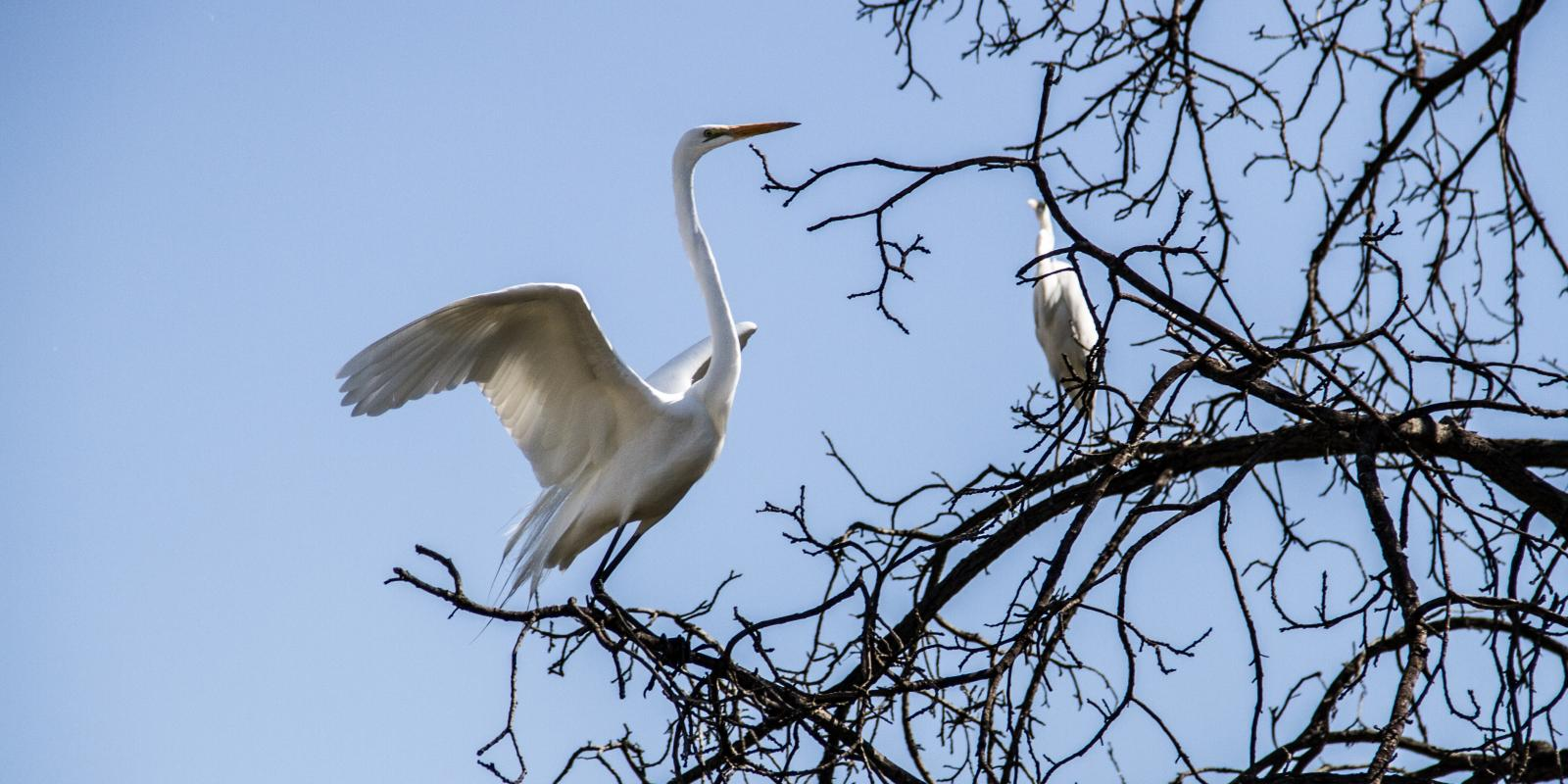 Egrets visiting the Lyle Center (Mark Maryanovich Photography)
